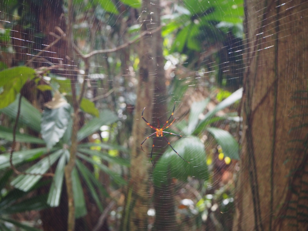 Daintree Spider.jpg