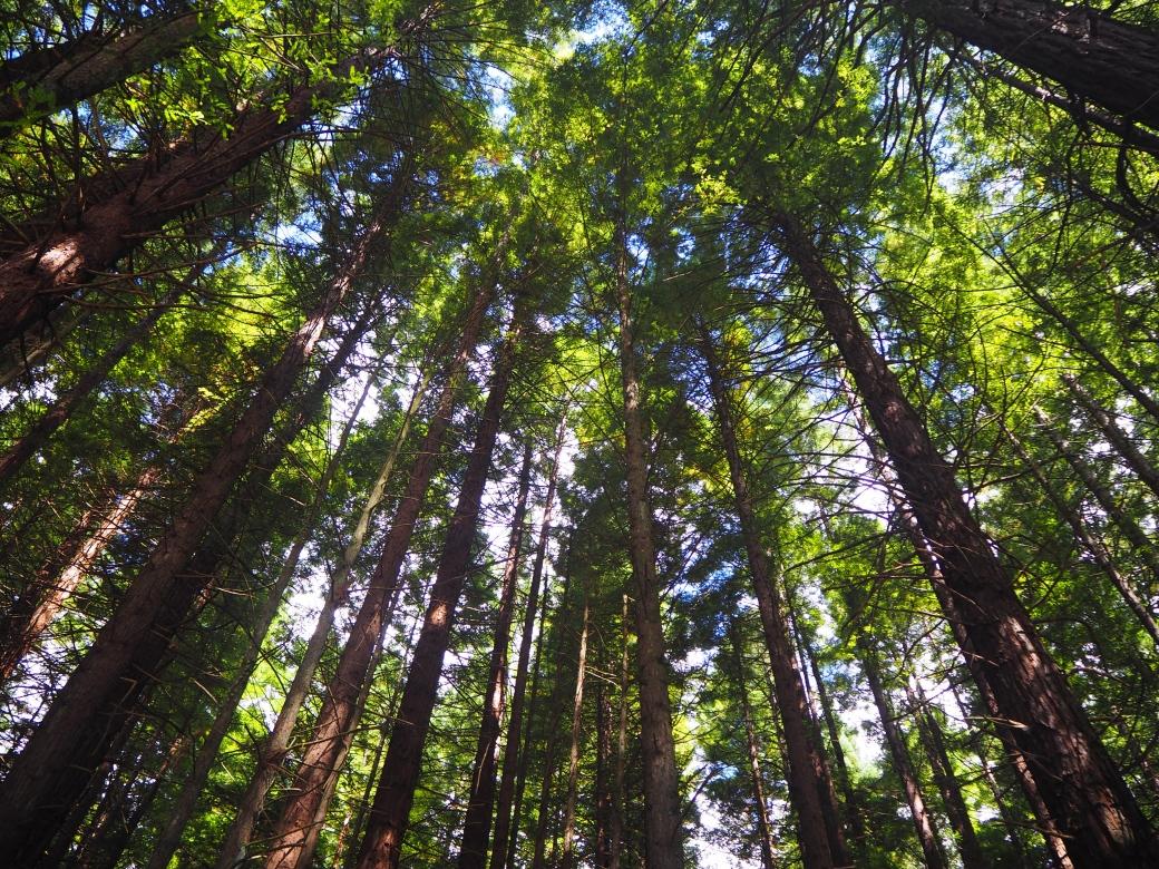 Redwoods (2).jpg
